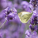 Butterfly on lavender. by Tricia Laing
