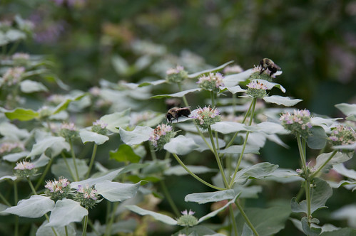 04126 Bumblebee on Mountain Mint