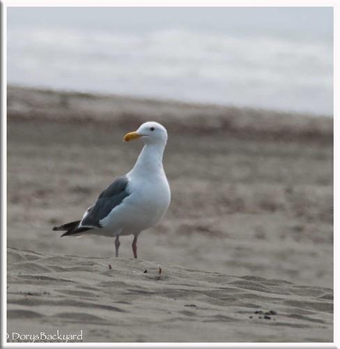 CA-Seagulls