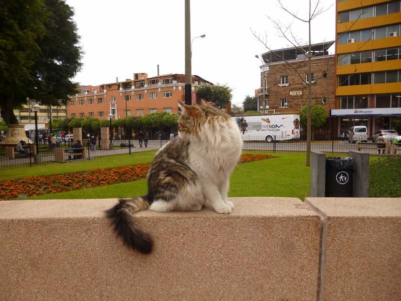 Cat in Miraflores, Lima