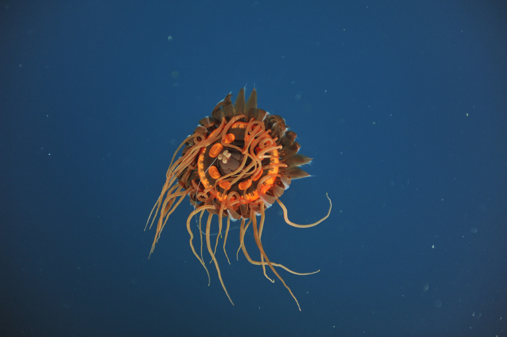 A jellyfish (Atolla sp.) is observed in the water column above Endeavour (1970 m), 15 June 2012.