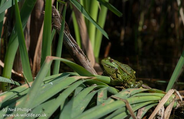 marsh frog-14