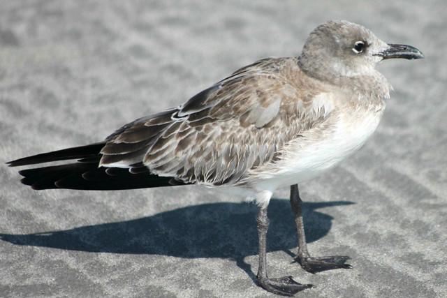 Female seagull - photo#46
