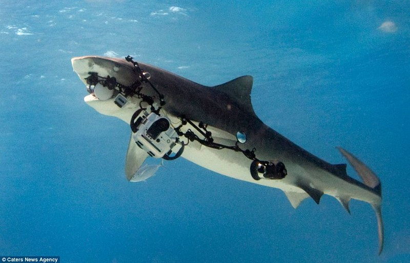 Smile!  Tiger Shark steals $18,000 camera rig
