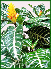 Aphelandra squarrosa 'Louisae' (Zebra Plant), crowned with gorgeous yellow inflorescences, March 12 2013