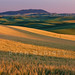 Palouse Gold and Green by Ryan McGinty