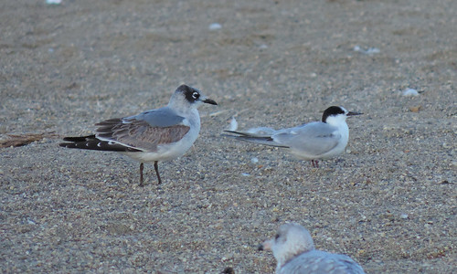 Franklin's Gull and Common Tern, East Fork 10/20/2013