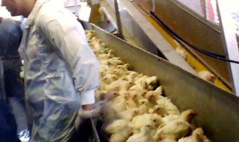 זוגלובק - תרנגולים על המסוע בדרך לשחיטה