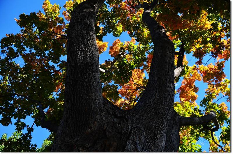 Sugar maple in Fall, Chautauqua, Boulder 1