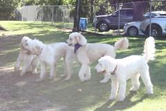 maremma sheepdog(0.0), slovak cuvac(0.0), livestock guardian dog(0.0), standard poodle(1.0), dog breed(1.0), animal(1.0), dog(1.0), pet(1.0), lagotto romagnolo(1.0), mammal(1.0),