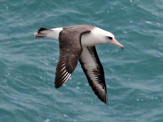 黑背信天翁。作者DickDaniels,取自http://en.wikipedia.org/wiki/File:Laysan_Albatross_RWD2.jpg。本圖符合CC授權。