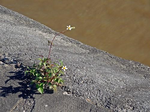 florcitas de Amor seco (Bidens pilosa)