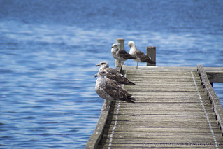 Juveniles On the Jetty