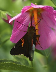 Silver-spotted Skipper (Epargyreus clarus) Enjoying a Seashore Mallow (Kosteletzkya virginica) Blossom