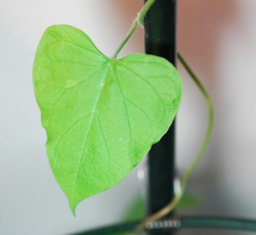 Ipomoea purpurea Q1181 leaf
