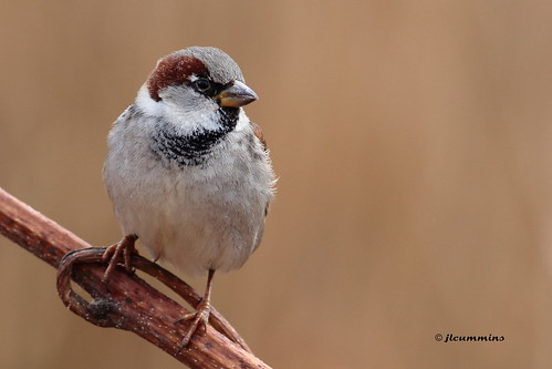 House sparrow by jlcummins - Washington State