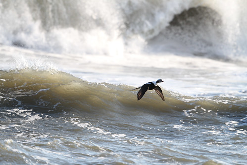 Ducks in the Giant Surf