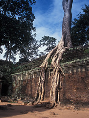 Ta Prohm - How Roots Grow