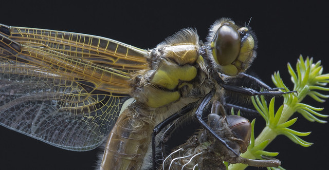 pe_ha45 - Four spotted chaser