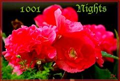 Begonias 1001 Nights