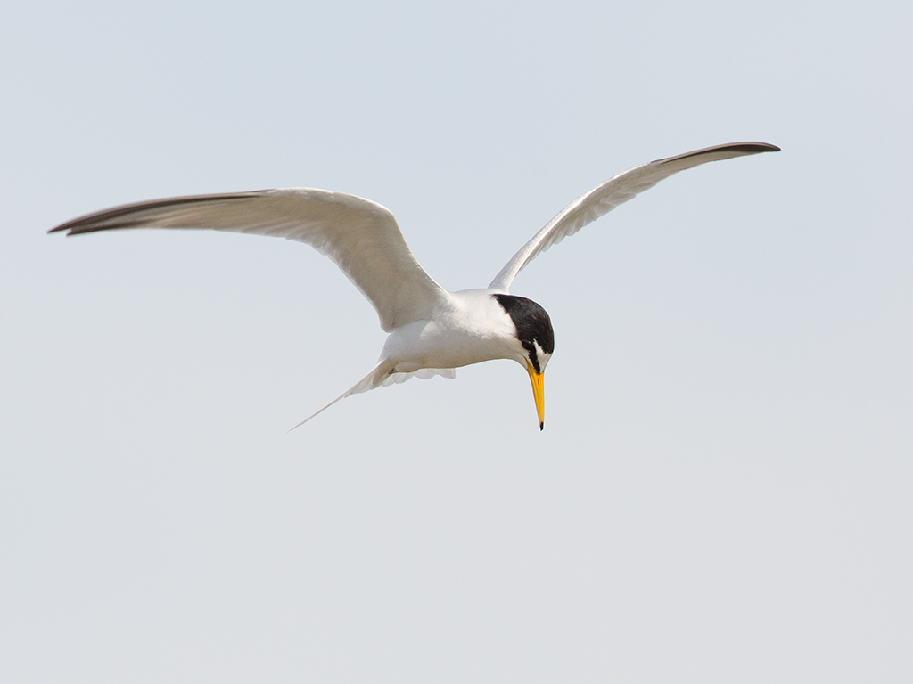 Little Tern 2014-05-02