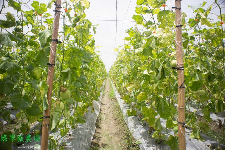 綠翠微農場--無毒美濃瓜 (9)
