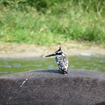 Kingfisher on the back of a hippo in the Kazinga Channel at Queen Elizabeth National Park, Uganda