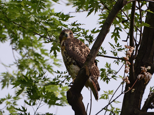 Cathedral Hawk Fledgling - 3391