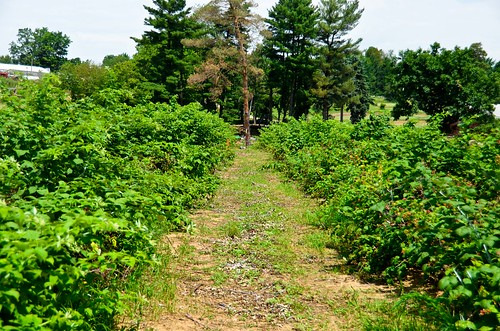 Berry Picking at Paskorz Berry Farm