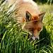 Small photo of Fox