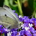 Cabbage white butterfly by enjosmith