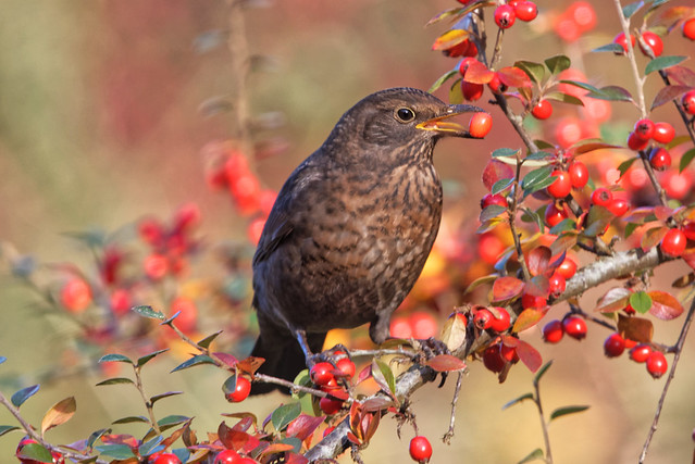 Female blackbird on berberis, Nikon D750, AF-S Nikkor 300mm f/4E PF ED VR