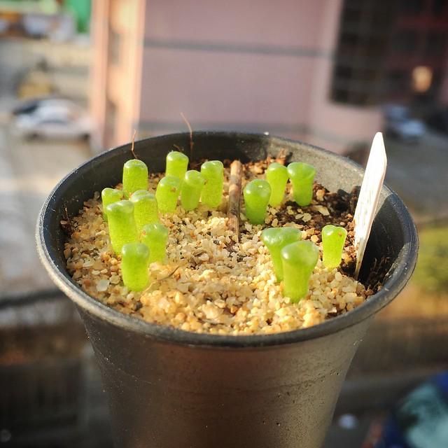 Lithops vallis-mariae sp._wild form seedling