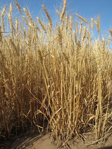 Z Crew: Short Wheat