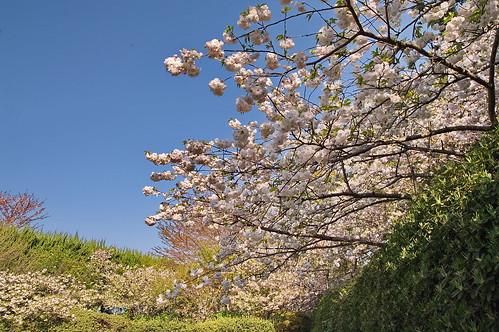 【写真】2013 桜 : 梅宮大社/2019-06-14/IMGP0215