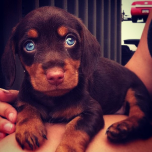 Dachshund/Husky Mix #want #puppies #dogs #bluesteel ...