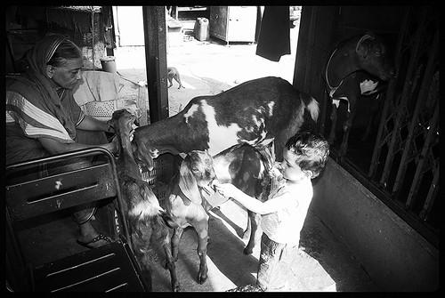 Marziya Shakir Feeding Goats Bandra Bazar Road by firoze shakir photographerno1