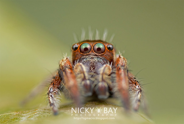 Jumping Spider (Salticidae) - DSC_1017