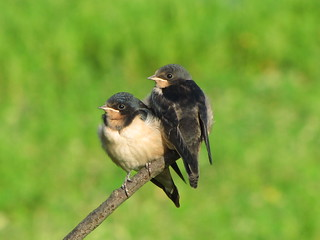 Barn Swallows - juveniles