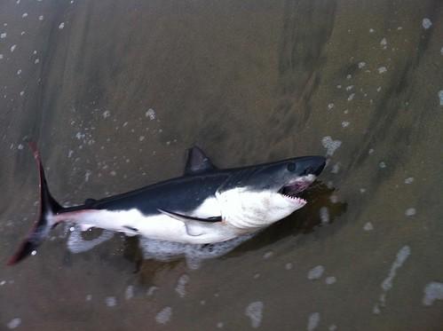 shark Found at China beach San francisco
