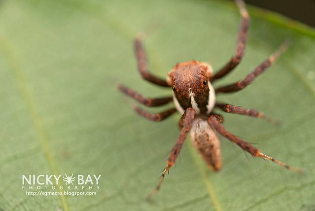 Jumping Spider (Portia sp.) - DSC_3862