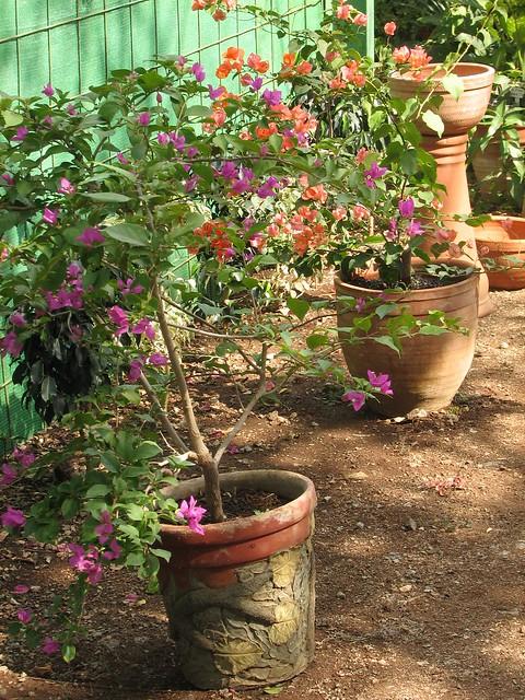 Espacio naturarte en santa clara cuba algunas plantas o for Algunas plantas ornamentales