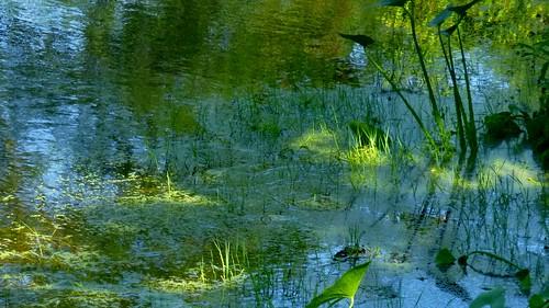 boston arboretum pond panasonic lumix dmcsz1 arnoldarboretum summer plants nature jaym