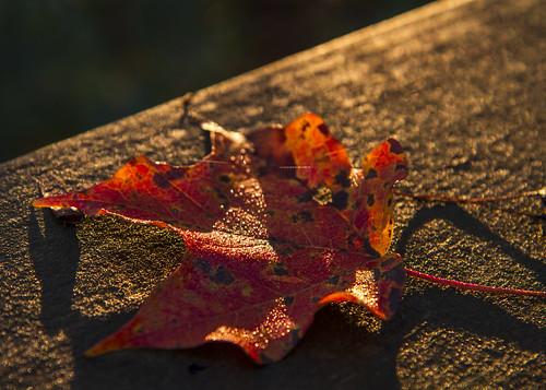 Leaf in Light  #12