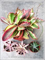 Peperomia clusiifolia 'Jellie', Cryptanthus and green cactus (ID please?)