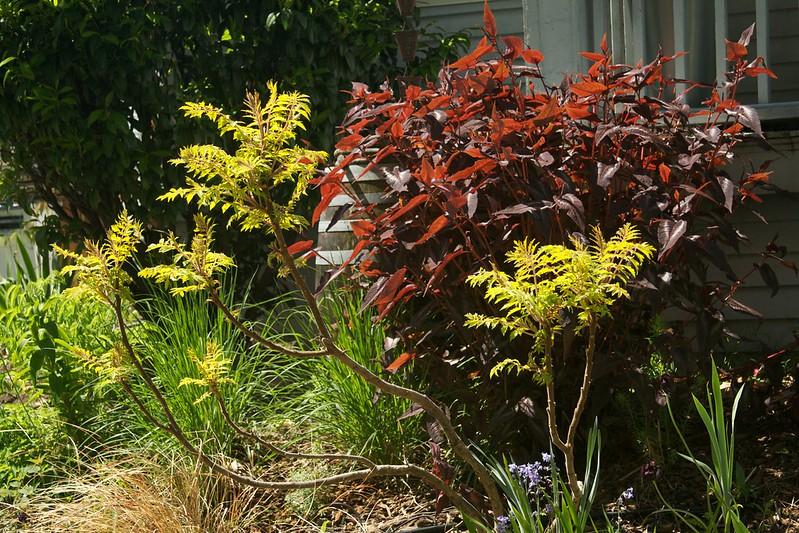 spring persicaria  3711