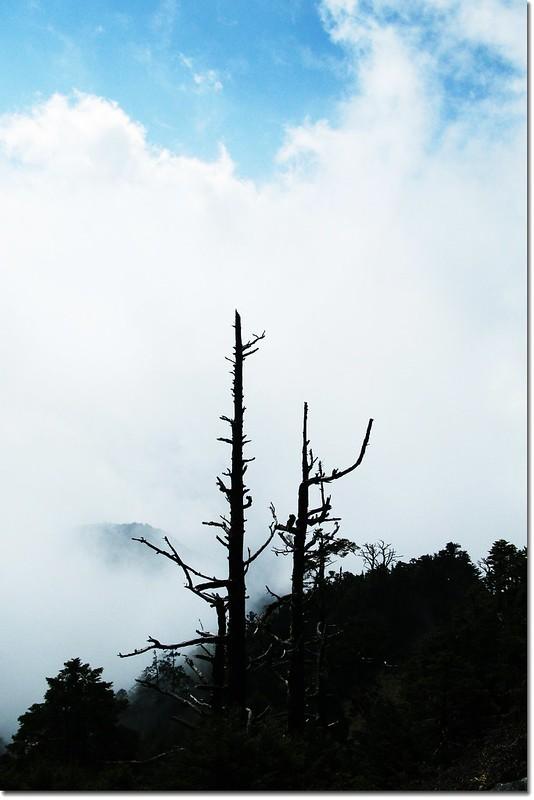 鐵杉白木林--夫妻樹 2