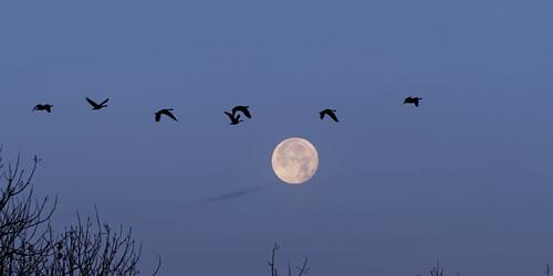 birthday usa moon nature sunrise prime geese colorado flight luna fullmoon aurora dxo lunar canadageese allrightsreserved cherrycreekstatepark ef70200mmf4lis canon7d copyright2013davidcstephens dxoopticspro91 mg9446dxo