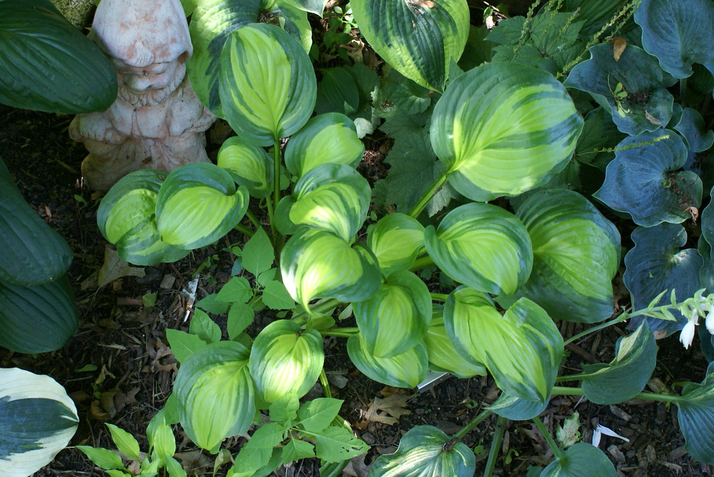 Hosta 'Adorable' (10)-001
