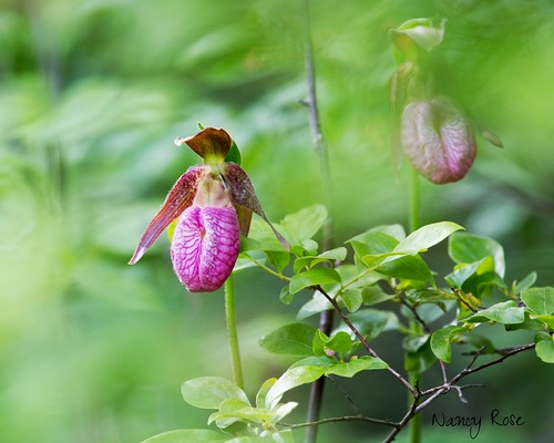 Moccasin flower hide and seek